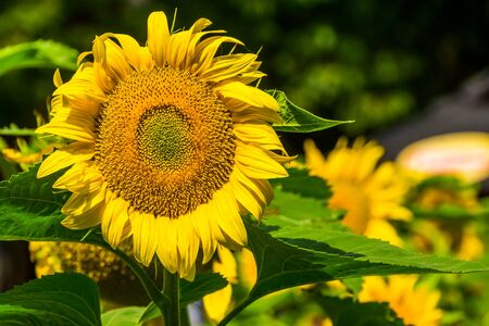 flower head of a sunflower in bloom in macro closeup, nature background, popular garden flowers