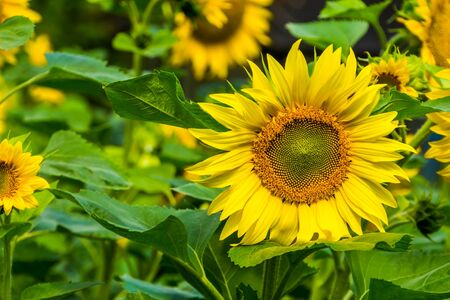 closeup of a sunflower in bloom, popular cultivated garden plant, nature background Reklamní fotografie