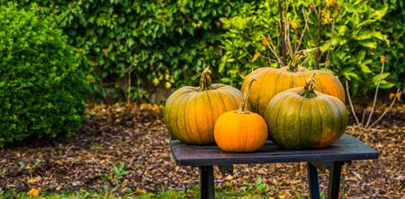 halloween and autumn season background, green with orange pumpkins on a garden table, Traditional decorations