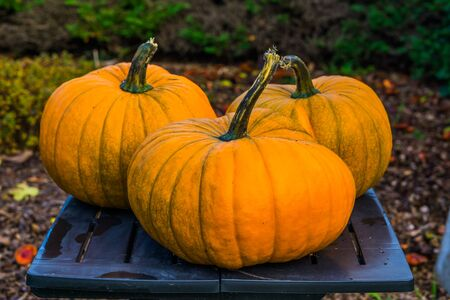 orange halloween pumpkins in closeup, traditional garden decorations, holiday and autumn background