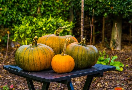 orange with green pumpkins on a table in a garden, halloween and autumn decorations, seasonal tradition background Stockfoto