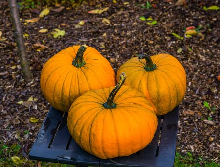 autumn and halloween decorations, ornamental orange pumpkins on a table in a garden, seasonal tradition