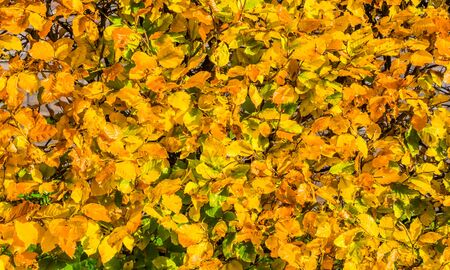 Hedge with leaves in autumn colors, Seasonal nature background pattern