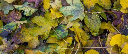 Autumn season background, pattern of fallen leaves in macro closeup Stock Photo