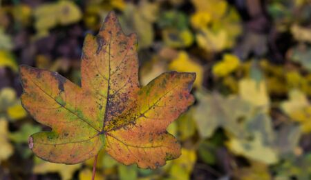 Closeup of a maple leaf with many leaves in the background, Autumn season in nature