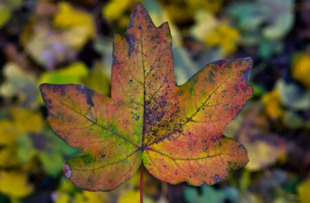 Maple leaf in closeup with many leaves in the background, Autumn season in the forest