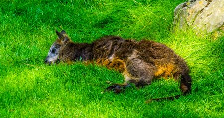 closeup of a swamp wallaby resting in the grass, marsupial specie from Australia
