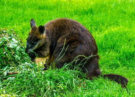 swamp wallaby eating plants in closeup, popular marsupial specie from Australia Stock Photo