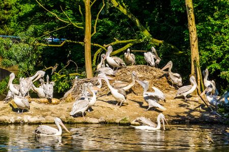 island full of dalmatian pelicans, water bird specie from europe