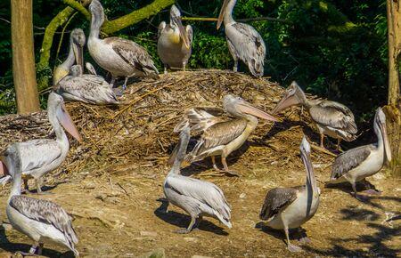 nest of dalmatian pelicans, common water bird specie from Europe