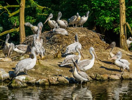 squadron of dalmatian pelicans at their nest, common water bird specie from Europe 스톡 콘텐츠 - 130817326
