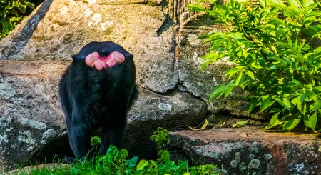 The behind of a celebes crested macaque, critically endangered animal specie from the Tangkoko reserve of sulawesi