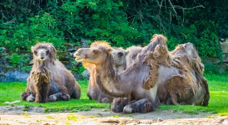 closeup of a group of camels with bad fur balding, popular zoo animals