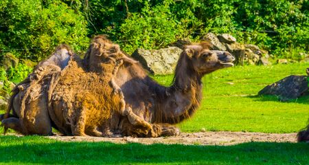 closeup portrait of a camel sitting in a pasture, animal with alopecia, popular zoo mammals Reklamní fotografie