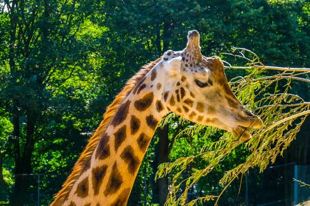 rothschild's giraffe eating leaves from a tree branch in closeup, zoo animal feeding, Endangered animal specie from Africa Banque d'images - 130817349