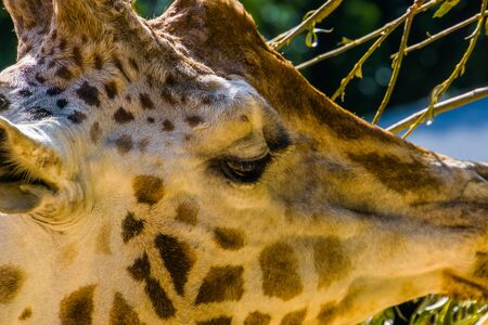 head of a rothschilds giraffe in closeup, endangered animal specie from Africa