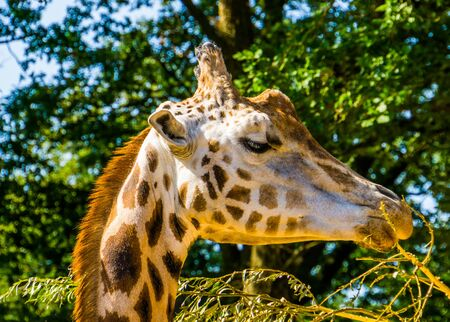 closeup of a rothschild's giraffe head eating leaves from a tree branch, endangered animal specie from Africa Banque d'images - 130817354