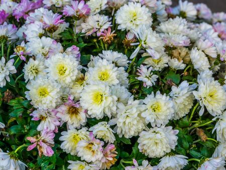 closeup of chrysanthemum flowers, Popular cultivated garden flowers, Nature background