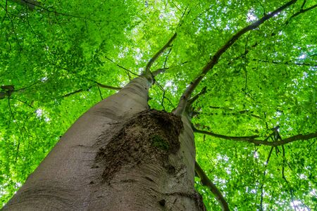 beautiful big and high tree with green leaves, summer season nature background Zdjęcie Seryjne