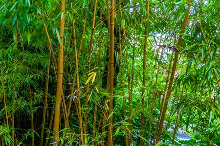 bamboo forest, bamboo trunks in closeup, Asian nature background Zdjęcie Seryjne