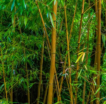 Bamboo trunks with green leaves in a tropical forest, Asian nature background Zdjęcie Seryjne