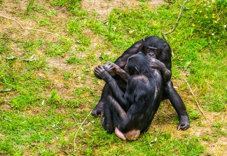 bonobo couple sitting close together, Social and intimate human ape behavior, Endangered primate specie from Africa 版權商用圖片