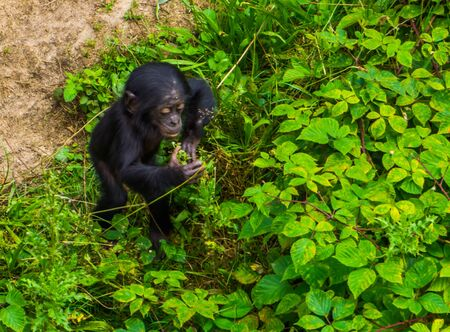 closeup of a bonobo infant standing by some plants, human ape, pygmy chimpanzee, Endangered animal specie from Africa