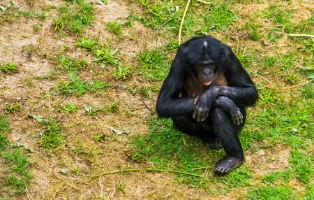 closeup of a female bonobo sitting in the grass, human ape, pygmy chimpanzee, Endangered primate specie from Africa 版權商用圖片