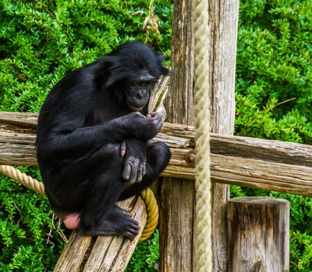 bonobo looking at its hand in closeup, human ape, pygmy chimpanzee, Endangered animal specie from Africa 版權商用圖片
