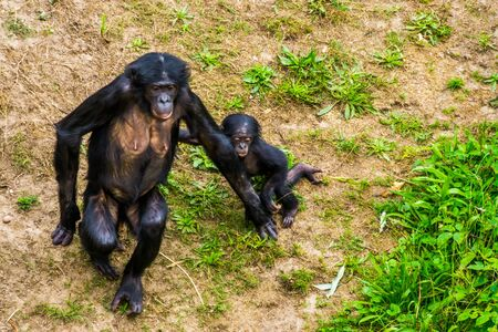 Mother bonobo walking together with her infant, Human ape baby, pygmy chimpanzees, Endangered primate specie from Africa 版權商用圖片