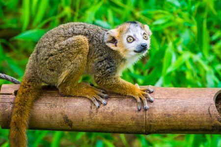 Lémur coronado en primer plano, mono lindo, especie de primates en peligro de extinción de Madagascar Foto de archivo