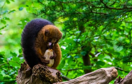 Red bellied lemur eating a vegetable in closeup, vulnerable primate specie from Madagascar Stok Fotoğraf