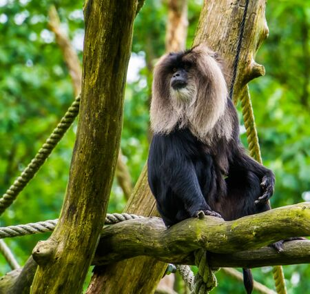 long tailed macaque portrait, tropical primate sitting in a tree, Endangered animal specie from India