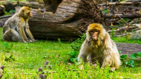 beautiful portrait of a barbary macaque sitting in the grass, tropical monkey, Endangered primate specie from Africa