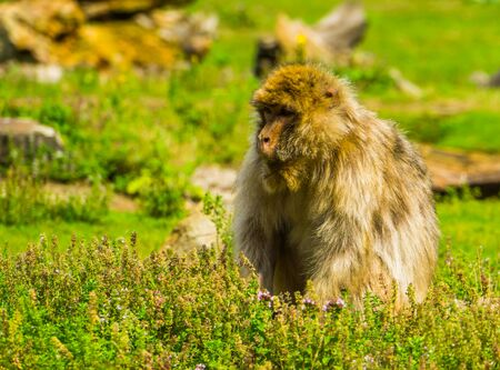 Beautiful barbary macaque portrait, tropical monkey sitting in the grass, Endangered animal specie from Africa