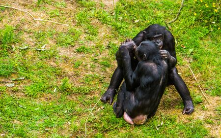 bonobo couple being intimate together, social human ape behavior, pygmy chimpanzee, Endangered primate specie from Africa