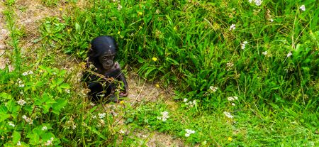 Adorable bonobo infant sitting in the grass, human ape baby, Endangered primate specie from Africa Stock Photo