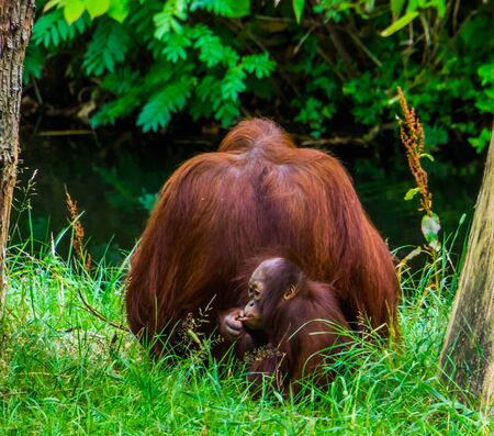 family portrait of a mother bornean orangutan with her infant, critically endangered primate specie from Borneo