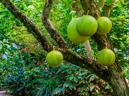 calabash tree bearing big fruits, popular tropical fruiting plant, exotic specie from America