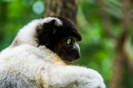 closeup of the face of a black crowned sifaka monkey, Endangered lemur specie from Madagascar Stok Fotoğraf