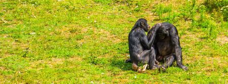 human apes grooming each other, bonbo couple, pygmy chimpanzees, social primate behavior, endangered animal specie from Africa Banco de Imagens