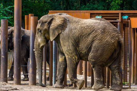 Afrikanischer Buschelefant, der in Nahaufnahme vorbeigeht, gefährdete Tierart aus der Savanne Afrikas