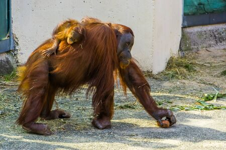mother bornean orangutan walking with her infant on her back, critically endangered animal specie from Indonesia
