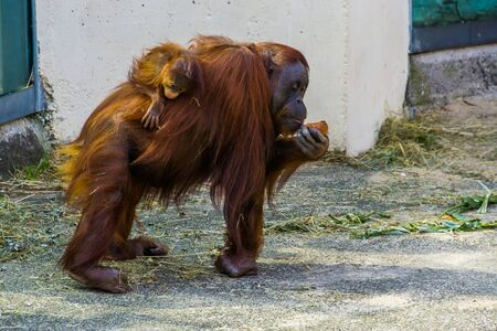 bornean orangutan with a infant on its back and eating a vegetable, critically endangered animal specie from Indonesia