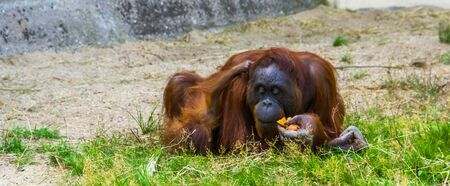 Mother bornean orangutan eating with her infant together, critically endangered animal specie from Indonesia