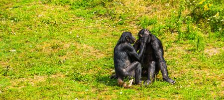 bonobo couple grooming, human apes, pygmy chimpanzees, Social primate behavior, endangered animal specie from Africa