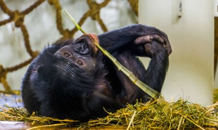 Closeup of a bonobo chewing on some hay and relaxing, human ape, pygmy chimpanzee, endangered animal specie from Africa