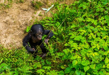 bonobo infant walking through some plants, human ape, pygmy chimpanzee child, Endangered primate specie from Africa