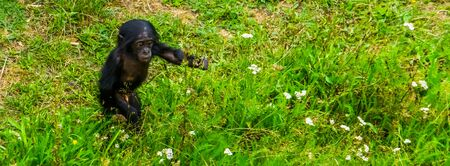 bonobo infant walking through te grass, pygmy chimpanzee baby, human ape, Endangered primate specie from Africa