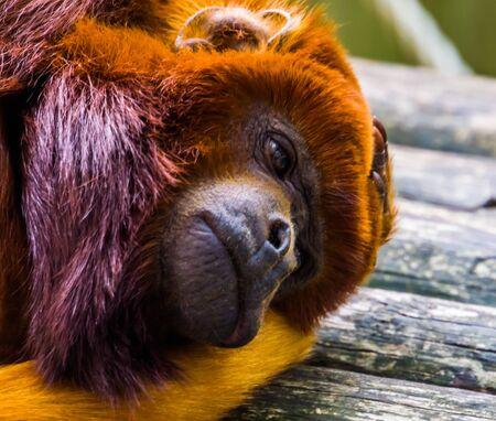 Primer plano de la cara de un titi cobrizo, exótico mono rojo, especie de primates tropicales de América del Sur